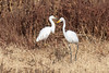DSC_4900.jpg Great Egret, Snowy Egret, Merced N W R (ldjaffe) Tags: greategrets mercednwr snowyegrets