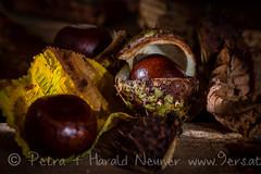Chestnuts (harald.neuner) Tags: pflanzen baum herbst kastanien jahreszeit gelborange braun natur farben rum tirol austria at