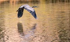 Warm Wings (brev99) Tags: tamron70300vc flare tulsa d7100 topazadjust nikviveza greatblueheron birdinflight highqualityanimals bif wings water pond crescentpark warm reflections