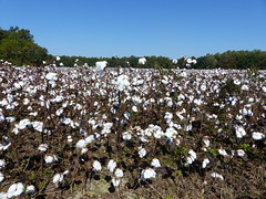 Is it popcorn? Is it snow? No! It's a field of cotton. (vbvacruiser - Mostly Off For A Week) Tags: virginia virginiastatepark chippokesplantationstatepark surry crop cotton