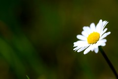 A single flower... (Maria Godfrida) Tags: nature flowers flower daisy whiteflower closeup single singleflower 7dwf