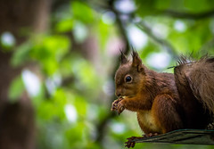 Pass me the Hairdryer. (Ian Emerson) Tags: bokeh redsquirrel squirrel red woods woodland wildlife nature nuts feeding breakfast feeders animal wet 75300 canon outdoor