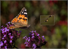 Well, there's an interesting thing! (Ed Phillips 01) Tags: vanessa cardui painted lady wasp