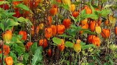 Physalis (Solanaceae) (Ruissalo Botanical Garden, Turku, 20150905) (RainoL) Tags: 2015 201509 20150905 autumn botanicalgarden egentligafinland fin finland flower flowers garden geo:lat=6043279767 geo:lon=2217202258 geotagged physalis plant plants ruissalo runsala september solanaceae turku varsinaissuomi bo ruissalobotanicgarden