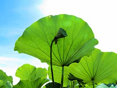 green (oneroadlucky) Tags: nature plant lotus leaf green