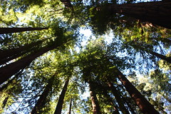 Grove (CAYphotos) Tags: muirwoods redwoods nationalpark millvalley trees