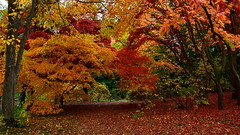 Acer Glade (Peter.S.Roberts) Tags: interestingness interesting nature bodnantgardens wales welsh historic trees maple acer glade autumn october leaves red golden plants fallenleaves woodland scenic walk beauty season seasonal japanese colourful picturesque attractive pretty lovely charming unspoiled quaint pleasing delightful romantic vivid graphic striking calm peaceful serene calming wood bark branches quiet composed depthoffield pov peterroberts nikond7000 collected warm warming uplifting heartwarming