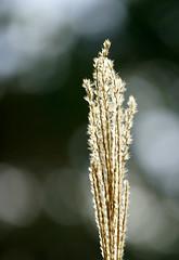 The seed time and the harvest.... (SteveJM2009) Tags: grass seeds seedhead sun light dof bokeh focus colour holt dorset uk october 2016 autumn stevemaskell