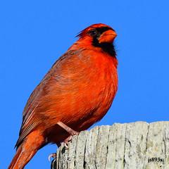 Northern Cardinal (male) (jt893x) Tags: 150600mm bird cardinal cardinaliscardinalis d500 jt893x male nikon nikond500 northerncardinal sigma sigma150600mmf563dgoshsms specanimal