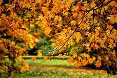 Autumn Gold (Nige H (Thanks for 7m views)) Tags: nature landscape trees autumn autumngold leaves foliage autumnfoliage