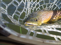 Brown Trout In My Net (fethers1) Tags: fishing flyfishing trout browntrout cutthr