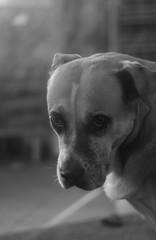She's sad when I'm sad. (erikzarcone) Tags: dog animal friend love portrait nikond7000 50mmpancake nikkor 50mm18 vintage lens beauty sadness