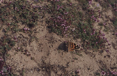 Merthys Mawr Insects, Butterflies, Moths (Mary Gillham Archive Project) Tags: invert lepidoptera newboroughwarrens paintedlady ss89557482 vanessacardui wales