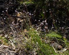 Sprawling Smoke-bush (Conospermum tenuifolium) ([S u m m i t] s c a p e) Tags: bluemountains conospermum conospermumtenuifolium proteaceae sprawlingsmokebush wentworthfalls nativeplants wildflowers leura newsouthwales australia blue spring lilac