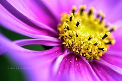 Last Days of Summer! (deborahmoynihan) Tags: flower petals purple yellow pollen macro tamron90mmf28macro closeup bokeh depthoffield flora fantasticflowers blossom bloom mountushergardens wicklow ireland nikond7200