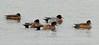 American & Eurasian Wigeons (plsmart) Tags: dncb 201648 blackiespit pier blackie american eurasian wigeons americanwigeon eurasianwigeon crescentbeach