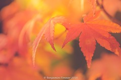 Japanese Maples 1-6 [   #124 explore 27th october  ] (frattonparker) Tags: nikond7000 tamron90mmmacro11 lightroom6 btonner frattonparker acer japanesemaple autumn fall dof isleofwight
