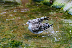 Bathing time (Rico the noob) Tags: dof bokeh finland d500 birds 70200mmf4 2016 helsinki animal published travel water bird nature 70200mm zoo eye indoor animals closeup