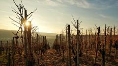 Weinberg (holgerreinert) Tags: mundelsheim weinberg weinrebe wine stuttgart ludwigsburg 0711 idyllic uww weitwinkel ultraweitwinkel nofisheye