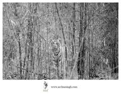 Wild India (Archna Singh Photography and Design Studio) Tags: canon tigers tiger royalbengaltiger ranthambhore kanha bandhavgarh tadoba nagzira pench panna sariska wildindia leopards elephants ustad machli kaziranga jimcorbett nikon