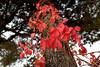 Parthenocissus quinquefolia (STE) Tags: foglie rosse red leaves edera rossa autumn autunno rampicante parthenocissus quinquefolia nikon20