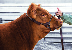 900702_c (Sharp Show Supply) Tags: 900702 beef brown cattle dairy halter hammertone large livestock show