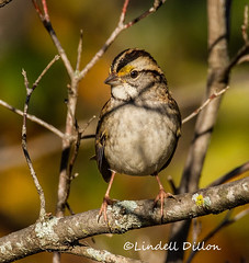 White-throated Sparrow (Lindell Dillon) Tags: whitethroatedsparrow nature oklahoma lindelldillon