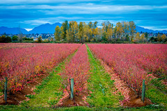 Blueberry field  (T.ye) Tags: landscape tree trees mountain red todd ye outside outdoor blueberry