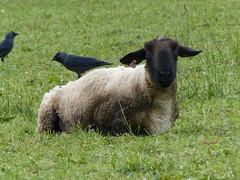 EASY RIDER  P1310860 (ianpreston) Tags: carsingtonwater reservoir derbyshire birds jackdaw sheep 2016
