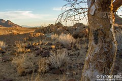 Chondrodactylus turneri  Turners Gecko. From Namib-Naukluft National Park, Namibia. (Tyrone Ping) Tags: chondrodactylusturneriturnersgeckofromnamibnaukluftnationalpark namibia tyroneping wwwtyronepingcoza canon7d 100mmmacrof28 close up gecko wild life herps herping fieldherping