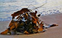 Kelp, Port Elliot (robynbrody) Tags: portelliot fleurieu peninsula southaustralia beach water sea seaweed kelp patterns australia sand ocean waves surf