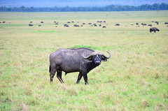 Male buffalo in Masai Mara (africansermonsafaris) Tags: kenya wildlife safari leopard bufallo masiamara