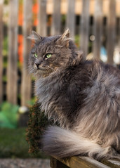 Out in windy weather (FocusPocus Photography) Tags: fynn fynnegan katze kater cat chat gato tier animal haustier pet garten garden