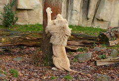 White African lion - Witte Afrikaanse leeuw in Ouwehands Dierenpark (joeke pieters) Tags: 1310416 panasonicdmcfz150 leeuw afrikaanseleeuw pantheraleo lion lwe africanlion male ouwehandsdierenpark rhenen gelderland nederland netherlands holland