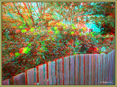Brian_Roses And Fence 1a LG_111116_A (starg82343) Tags: