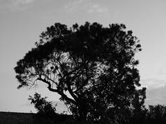 Silhouette at dusk (prondis_in_kenya) Tags: kenya nairobi shortrains tree silhouette dusk bw oleander