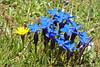 Gentiana verna... (Everest Daniel) Tags: gentiana verna blue flower swissalps mountains kandersteg switzerland yellow
