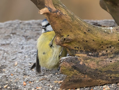 Blue Tit (steven waddingham) Tags: stevenwaddinghamphotography bird wild nature song