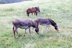 Esel bei Zislow