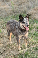 Sybil standing (Muzik Hounds) Tags: blue dog cute dogs cattle australian canine heeler herding
