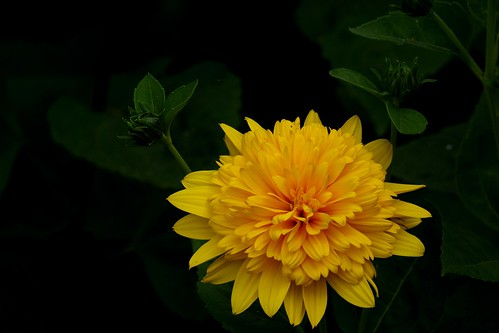Bright yellow garden flower