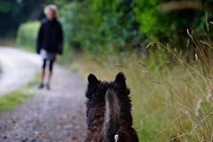Here she comes (osto) Tags: dog pet animal denmark europa europe sony terrier zealand otto scandinavia danmark cairnterrier slt a77 sjlland osto alpha77 osto august2015