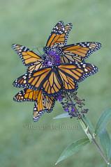 Bouquet de Monarch (chevymom0) Tags: summer macro nature beautiful canon butterfly bug wings purple michigan caterpillar monarch environment milkweed metamorphosis downriver waynecounty canoneosdigitalrebelxti monarchwaystation2408