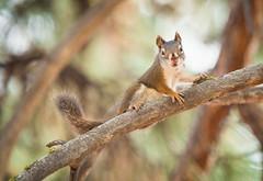 My Dog's Nemesis (Seth GaleWyrick) Tags: tree cute nature animal rodent squirrel wildlife olympus omd em5 14teleconverter mc14 4150f28
