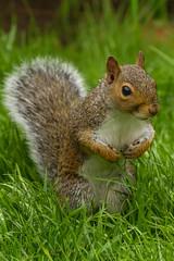 Squirrel (warren hanratty) Tags: nature squirrel wildlife nailsworth warrenhanrattyphotography