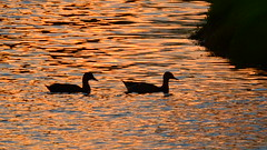 Duck Silhouette (Jim Mullhaupt) Tags: pictures camera pink blue sunset red wallpaper orange sun lake color reflection bird nature water weather silhouette yellow landscape photography gold evening photo duck pond nikon flickr sundown florida outdoor dusk background wildlife snapshot picture p900 swamp tropical coolpix bradenton endofday nikoncoolpixp900 coolpixp900 nikonp900 jimmullhaupt