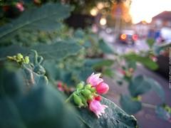 Pink flower on a road (dksesh) Tags: trees wild plants reed nature grass walking freshair sony reserve fitness twigs bushes hounslow seshadri sesh harita naturewalking sonyxperia dhanakoti haritasya seshfamily sonyxperiaz2 fireshwildnessair gymgymnasiuma ounslownature