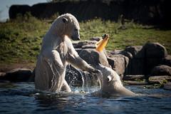 BLIJDORP20151001_©arievantilborg-9842 (Arie van Tilborg) Tags: blijdorp polarbear ijsbeer rotterdamzoo ijsberen arievantilborg