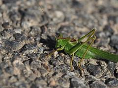 Day 8 (Monday) (jesse_the_ros) Tags: road france green nature animal walking photography oak bush outdoor hiking olympus cricket explore bourgogne tettigoniidae auvergne meconema thalassinum l'allier chantenaysaintimbert saintleopardind'augy