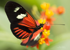 Doris Longwing (Lori Bote) Tags: closeup butterfly insect macrophotography dorislongwing macro100mm macrobutterfly
